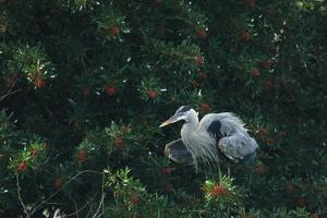 A Great Blue Heron on Florida's Gulf Coast by Klaus Nigge