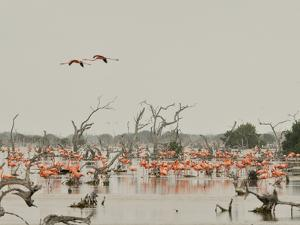 A Group of Caribbean Flamingos Among Dead Mangrove Trees by Klaus Nigge