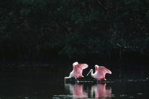 A Pair of Roseate Spoonbills Wade in a Coastal Lagoon by Klaus Nigge