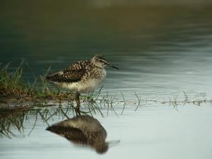 A Sandpiper and its Reflection in Calm Water by Klaus Nigge