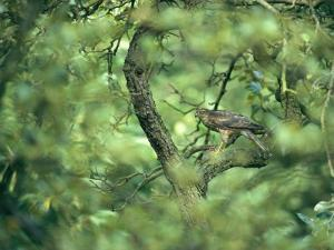 A Sparrowhawk Perches in a Tree, Accipiter Nisus by Klaus Nigge