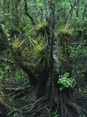 Air Plants Adorn the Trees in South Florida by Klaus Nigge