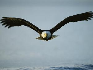 American Bald Eagle in Flight over Water by Klaus Nigge