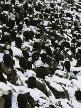 American Bald Eagles Gather on a Snow-Covered Breakwater by Klaus Nigge