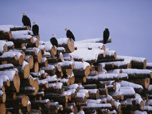 American Bald Eagles Perch on a Stack of Snow-Covered Logs by Klaus Nigge