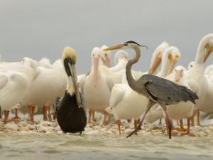 American White Pelicans, Brown Pelican, and Great Blue Heron by Klaus Nigge