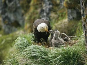 An American Bald Eagle Feeds its Young by Klaus Nigge
