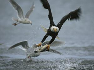 An American Bald Eagle Grabs a Fish in its Talons by Klaus Nigge