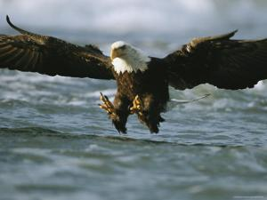 An American Bald Eagle in Flight over Water Hunting for Fish by Klaus Nigge