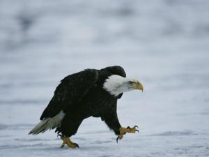 An American Bald Eagle Walks Intently Toward its Prey by Klaus Nigge