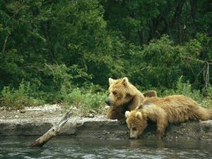 Brown Bear Cubs Resting on a River Bank by Klaus Nigge