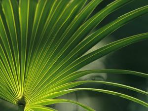 Close View of a Palm Frond by Klaus Nigge