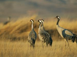 Common Cranes in a Grassy Landscape by Klaus Nigge
