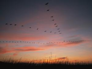 Flock of Common Cranes Flying at Sunset by Klaus Nigge