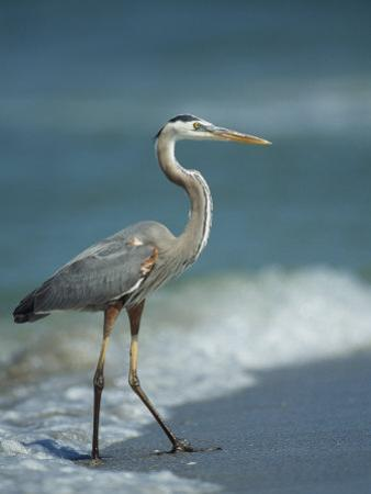 Great Blue Heron Walks in the Sand by Klaus Nigge