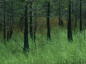 Slash Pines Grow above the Tall Grass in Floridas Freshwater Marsh by Klaus Nigge