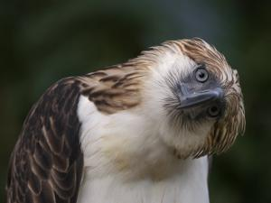 The Philippine eagle twists its head to change its visual perspective by Klaus Nigge