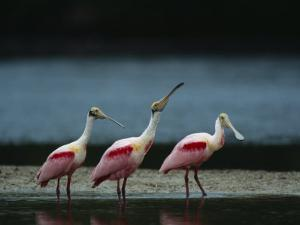 Trio of Roseate Spoonbills Are Reflected in a Coastal Lagoon by Klaus Nigge