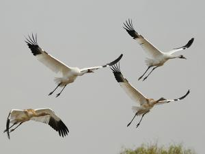 Whooping Crane Adults and Twin Chicks Taking Off in Wintering Grounds by Klaus Nigge