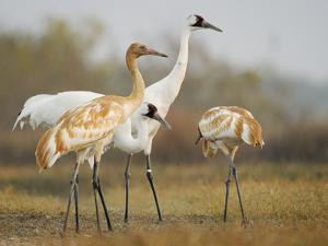 Whooping Crane Parents with Twin Chicks at Wintering Grounds by Klaus Nigge
