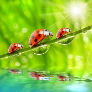 Funny Picture Of The Ladybugs Family Running On A Grass Bridge Over A Spring Flood by Kletr