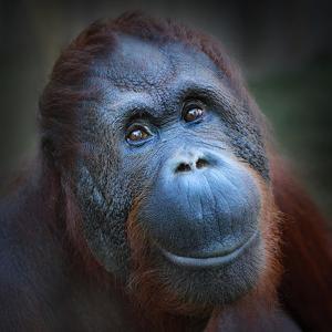 Happy Smile Of The Bornean Orangutan (Pongo Pygmaeus) by Kletr
