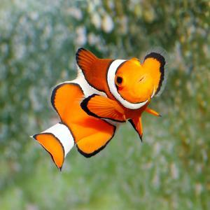 Tropical Reef Fish - Clownfish (Amphiprion Ocellaris) Macro With Shallow Dof by Kletr