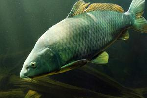 Underwater Photo Big Carp (Cyprinus Carpio) In Bolevak Pond - Famous Anglig And Diving Place by Kletr