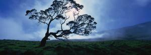 Koa Tree on a Landscape, Mauna Kea, Kamuela, Big Island, Hawaii, USA