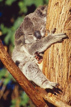 Koala Asleep in Tree