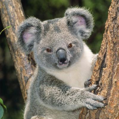 Koala Young Close-Up