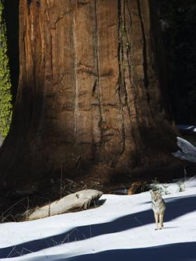 Coyote Dwarfed by a Tall Sequoia Tree Trunk in Sequoia National Park, California, USA by Kober Christian
