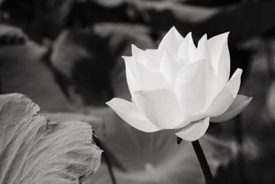 White Lotus In Basin 1 1 by Kobfujar