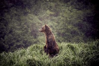 https://imgc.allpostersimages.com/img/posters/kodiak-island-bear-kodiak-alaska_u-L-Q10VEYG0.jpg?p=0