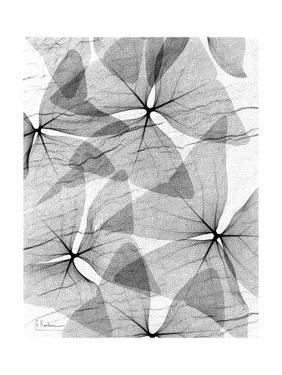 False Shamrock Leaves, X-ray by Koetsier Albert