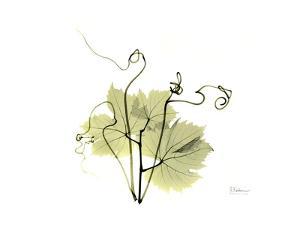 Grape Leaves and Tendrils, X-ray by Koetsier Albert