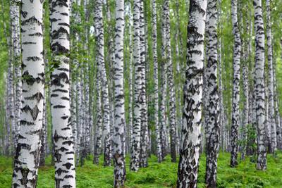 Nice Summer Birch Forest by Kokhanchikov