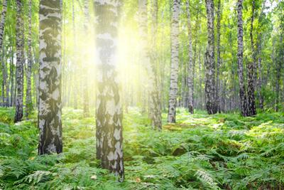 Summer Birch Woods with Sun by Kokhanchikov