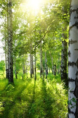 Summer Birch Woods with Sun by Kokhanchikov