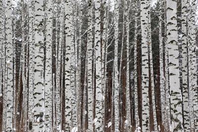 Winter Birch Forest by Kokhanchikov