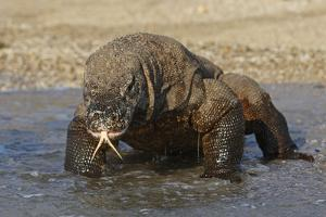 Komodo Dragon on Beach Entering Sea