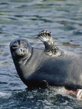 Baikal Seal (Phoca Sibirica) Resting on Rock with Flipper Raised, Zabaikalsky, Russia by Konrad Wothe
