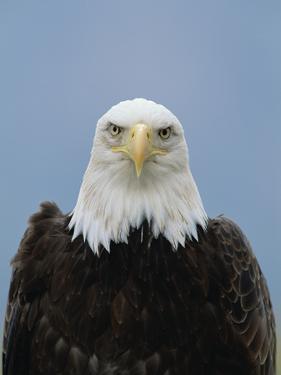 Bald Eagle (Haliaeetus Leucocephalus), North America by Konrad Wothe