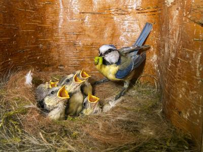 Blue tit  (Cyanistes caeruleus) feeding young in the nestbox,  Bavaria, Germany, May