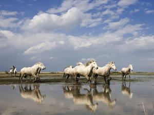 Camargue Horse (Equus Caballus) Group Running in Water, Camargue, France by Konrad Wothe