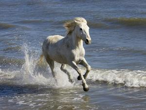 Camargue Horse (Equus Caballus) Running in Water at Beach, Camargue, France by Konrad Wothe