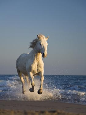 Camargue Horse (Equus Caballus) Running on Beach, Camargue, France by Konrad Wothe