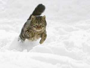 Domestic Cat (Felis Catus) Male Running in Snow, Germany by Konrad Wothe