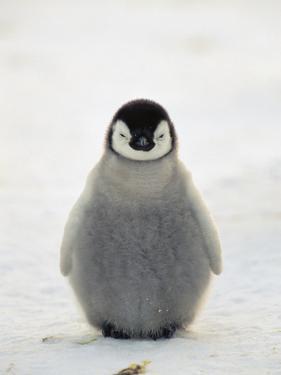 Emperor Penguin (Aptenodytes Forsteri) Chick, Antarctica by Konrad Wothe