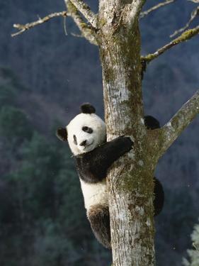 Giant Panda (Ailuropoda Melanoleuca) Climbing Tree, Endangered, Wolong Valley, China by Konrad Wothe